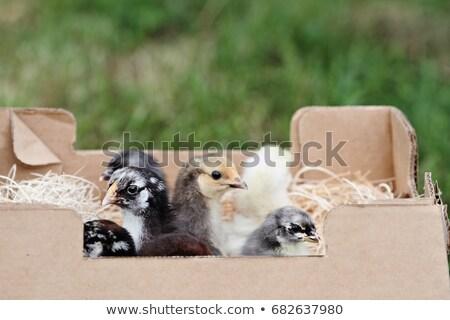 Posta kék csirke baba vmi mellett csomagol Stock fotó © StephanieFrey