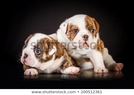 dos · adorable · Inglés · bulldog · cachorros · pie - foto stock © feedough
