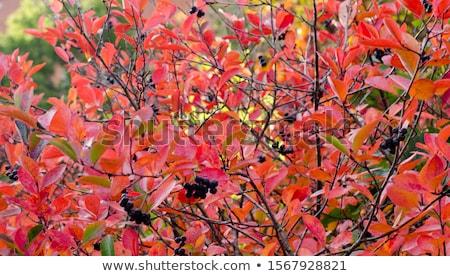 bunch of black chokeberry Stock photo © LianeM