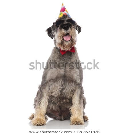elegant seated schnauzer wearing birthday hat and sunglasses Stock photo © feedough