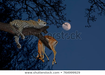 Leopard chasse alimentaire illustration coucher du soleil nature Photo stock © bluering