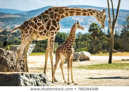 Сток-фото: Giraffe With Calf Africa Wildlife Safari