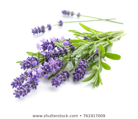 Purple blooming Lavender on white stock photo © CatchyImages