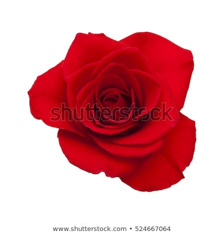 Rode rozen fluwelen een vers steeg parels Stockfoto © neirfy