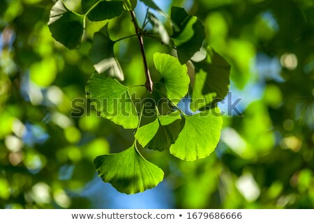 Fresh ginkgo sprig, plant of the ginkgo Stock photo © Artida