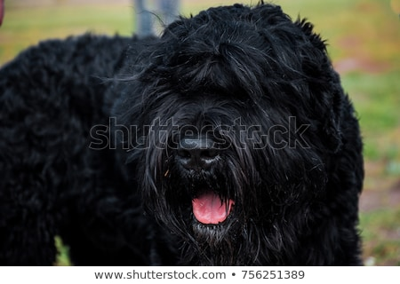 Little Black Russian Terrier Puppy on White Background Stock photo © tobkatrina