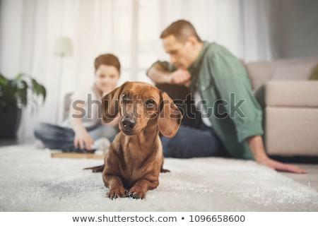 Male dog, dachshund Stock photo © stevanovicigor