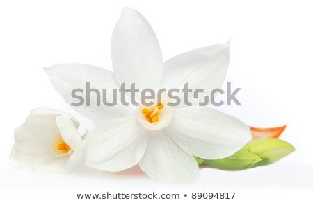 Narcissus Flower Macro Stock photo © frannyanne