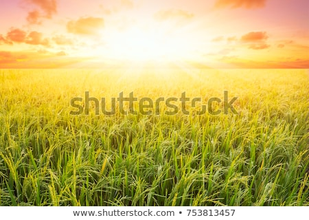 arrozal · grama · verde · blue · sky · nuvem · nublado · paisagem - foto stock © witthaya