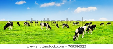 Cow grazing on a green field  Stock photo © simpson33