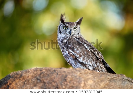Stock photo: owl portrait staring at camera close up