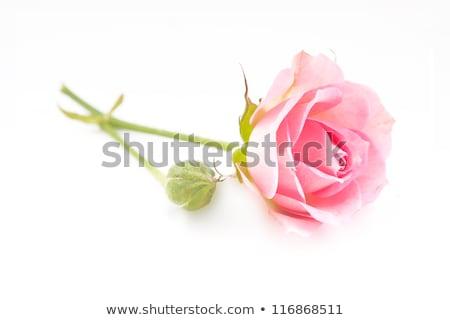 1 新鮮な ピンクのバラ 白 孤立した 花 ストックフォト © bloodua