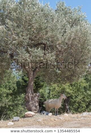 olijfolie · bomen · boerderij · middellandse · zee · veld · oude - stockfoto © mps197