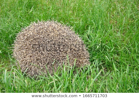 Stock photo: Hedgehog Curled In The Grass