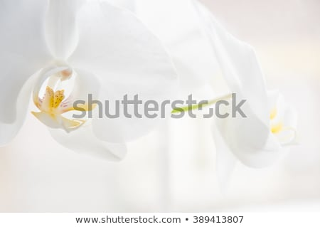 Fehér orchidea citromsárga levél háttér ajándék Stock fotó © slunicko