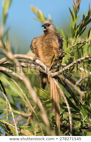 Speckled mousebird (Colius striatus) calling in the middle of pr Stock photo © davemontreuil