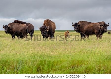 Bizon resim küçük sezon güz hayvan Stok fotoğraf © nialat