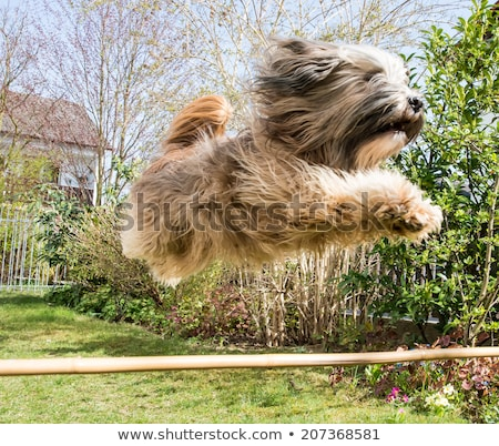 Dog Agility with jumping Tibetan Terrier Stock photo © manfredxy