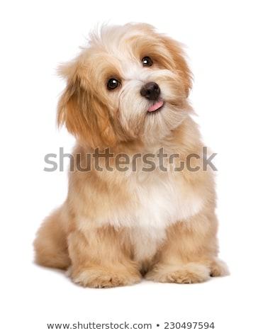 Zdjęcia stock: Cute · szczeniak · patrząc · psa · piętrze