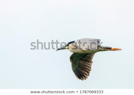 Night Heron Stock photo © pazham