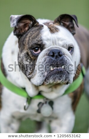 Brindle and white English Bulldog puppy male with pronounced underbite. Stock photo © yhelfman