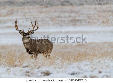 ストックフォト: 鹿 · バック · フィールド · 夜明け · 風景 · 美