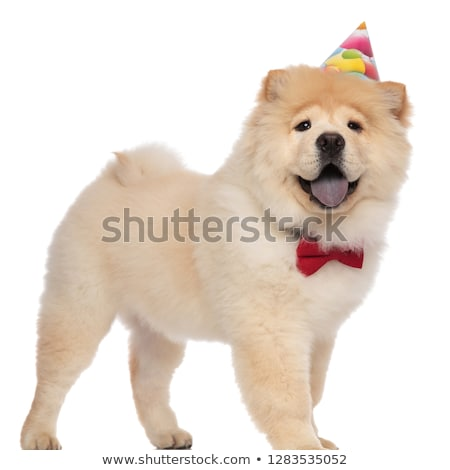 excited chow chow wearing red bowtie stands and looks up Stock photo © feedough