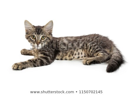Cute Kitten Lying Down Stock photo © 2tun