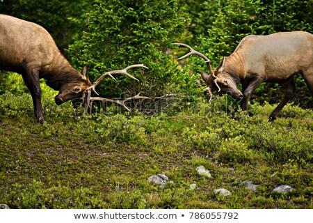 Stock photo: two young bull on green meadow
