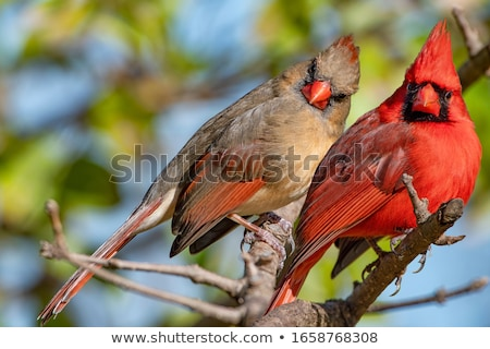 female northern cardinal stock photo © brm1949