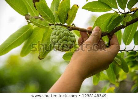 молодые сахар яблоко заварной крем растущий дерево Сток-фото © galitskaya