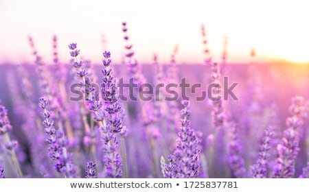 Lavender blooming field stock photo © neirfy