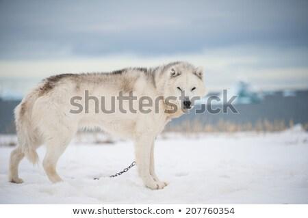 Greenland dogs - husky sled dog in Ilulissat Greenland Stock photo © Maridav