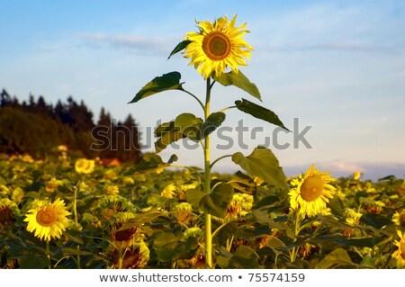 Biggest Sunflower Stock photo © tepic