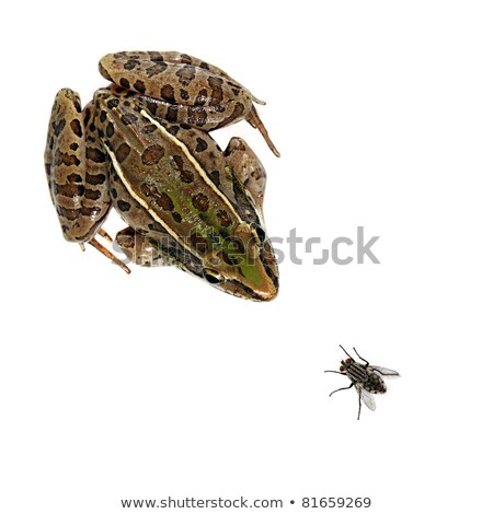 Leopard Frog and fly stock photo © macropixel