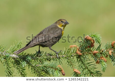 желтый голову дрозд черный женщины Сток-фото © stockfrank