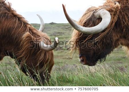 Highland cows fighting Stock photo © Elenarts