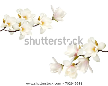 Isolated white flowers Stock photo © elenaphoto