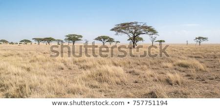 elefante · africano · bianco · sunrise · rinoceronte · natura · viaggio - foto d'archivio © elenarts