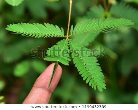 sensível · planta · verde · natureza · jardim - foto stock © sweetcrisis