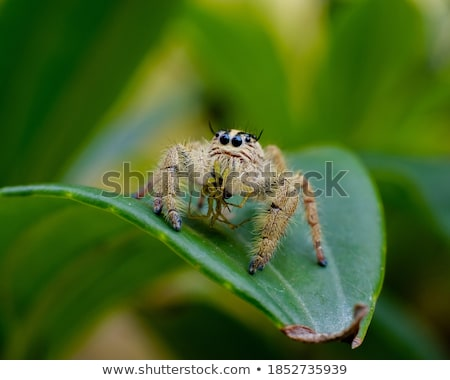 séduisant · jaune · poilue · araignée · feuille - photo stock © mnsanthoshkumar