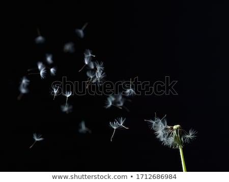 タンポポ · 花 · 飛行 · 種子 · 青 · 戻る - ストックフォト © vividrange