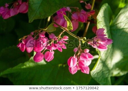 Coral Bells Leaves Stock photo © ca2hill