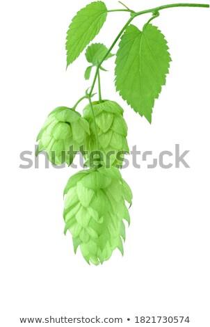 hop · gegroeid · blad · veld · bladeren · plant - stockfoto © tepic