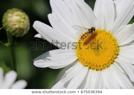 Fly Pollinating a Daisy Stock photo © rhamm