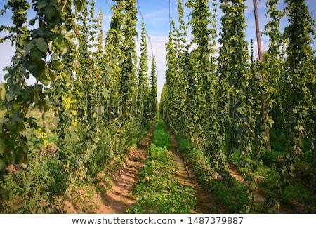 hops in hops garden, Czech Republic Stock photo © phbcz