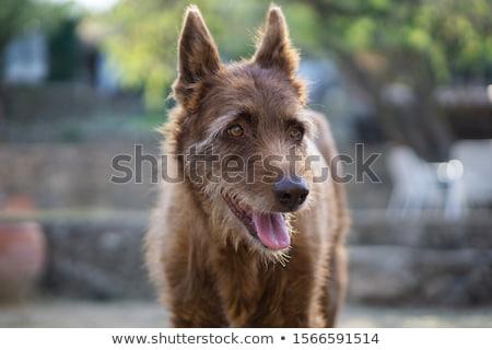 古い ポインティング 犬 肖像 動物 小さな ストックフォト © CaptureLight