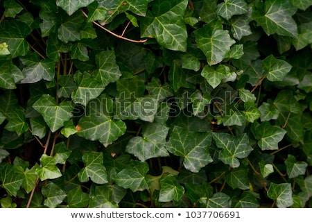ツタ 緑 木の幹 ツリー 森林 自然 ストックフォト © Elenarts