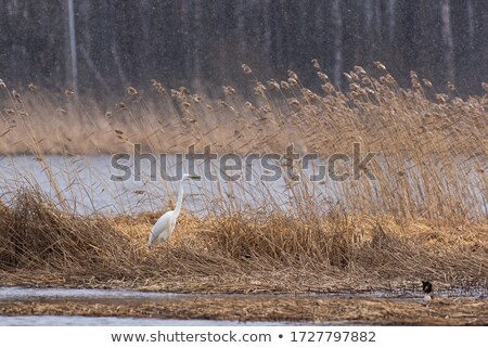 Great Egret in Reeds Stock photo © rhamm