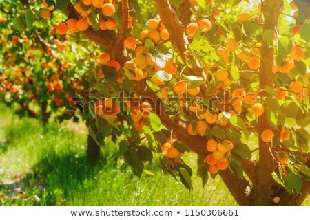多くの フルーツ 木 日照 ストックフォト © ivonnewierink